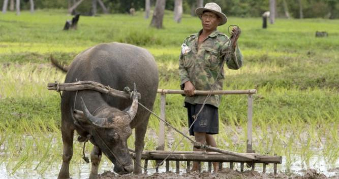 Water buffalo working the fields, rual Cambodia