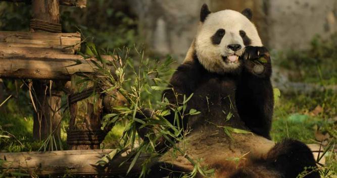 Single-Panda-Chengdu-China
