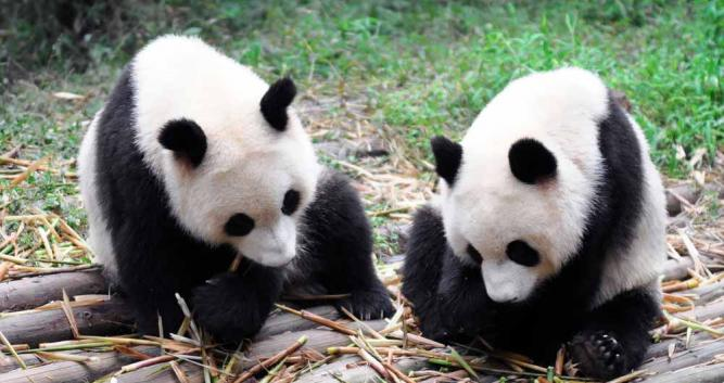 two-pandas-eating-bamboo-Chengdu-China