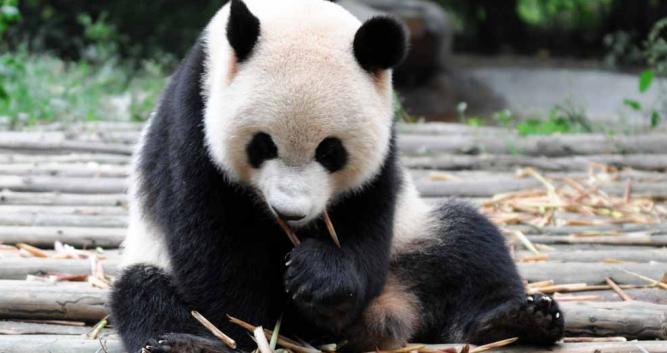 panda-research-centre-Chengdu-China