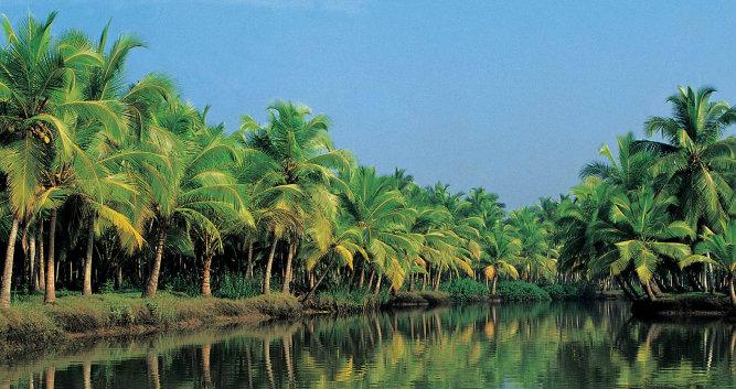 Palms lining the backwater canals, Alleppey, Kerala, India