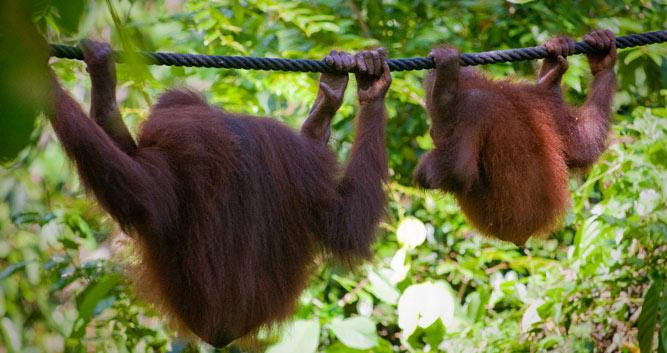 Two orangutans playing on a rope, Sepilok, Sabah, Borneo