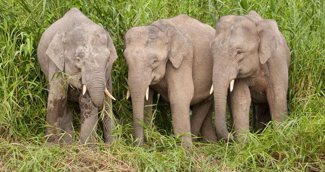 Elephants at the river bank, Kinabatangan river, Borneo