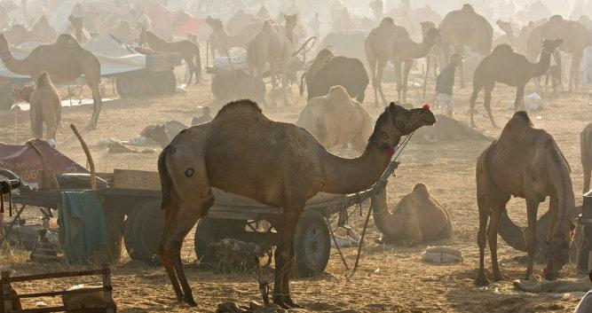 Camel fair at sunrise, Pushkar, India