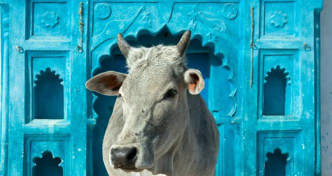 Holy cow in front of house, Orchha, Madhya Pradesh, India