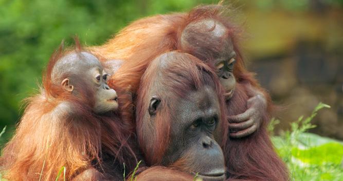 Orangutan and babies, Sepilok, Sabah, Borneo