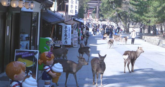 Deer on Street - Nara - Luxury Japan Travel and Tours