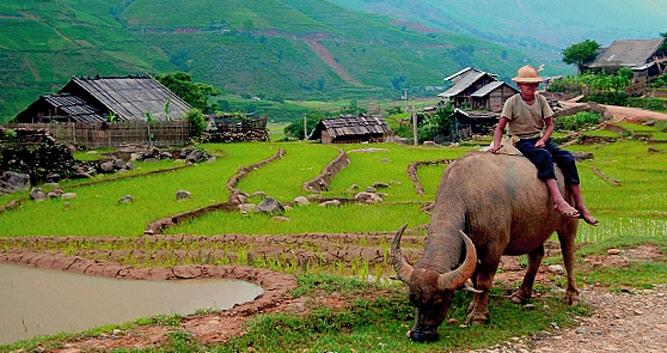Water bffalo working the land, Sapa, Vietnam