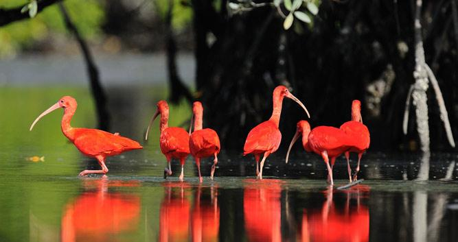 Scarlet Ibis, Atlantic Rainforest, Brazil
