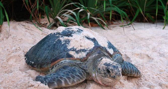 Green turtle, Con Dao, Vietnam