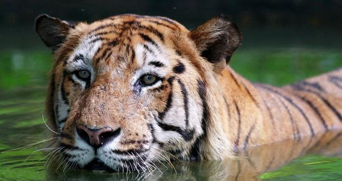 Tiger in the water, India
