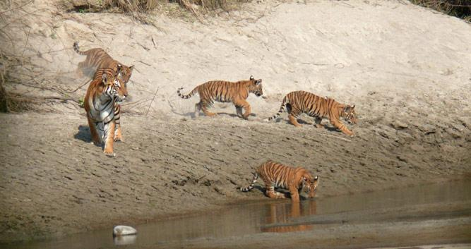 Tigers-Bardia-National-Park-Luxury-Nepal-Wildlife-Holidays