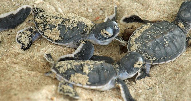 Baby turtles, Sabah, Borneo