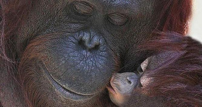 Baby orangutan and mother, Kinabatangan river, Borneo