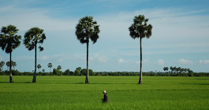 Paddy fields, Kampot, Cambodia