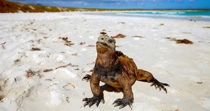 iguana on beach, Galapagos, South America
