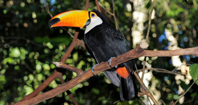 Toco Toucan at Iguassu, Brazil