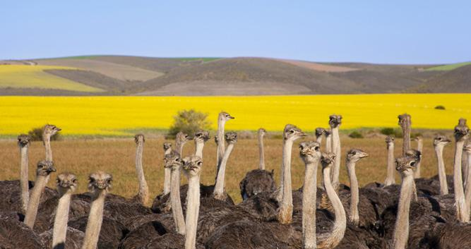 Ostrich South Africa