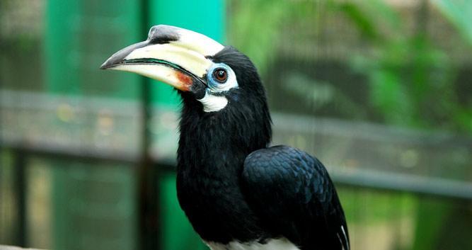 Hornbill, Sabah, Borneo