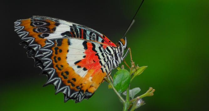 Malay lacewing orange butterfly, Borneo