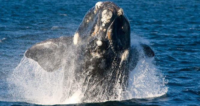 Whale-watching off Florianopolis