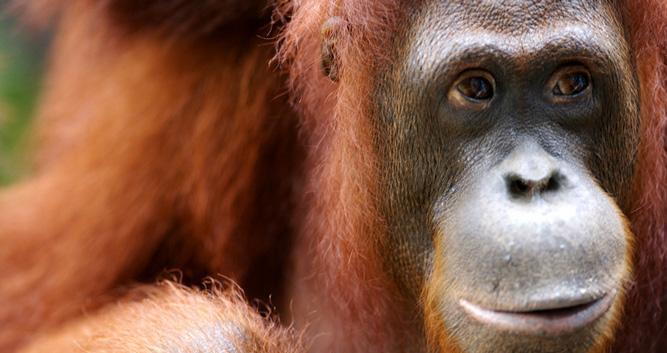 adult orangutan, Sepilok, Sabah, Borneo