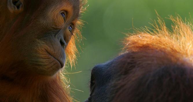 Orangutan baby and mother, Sepilok, Sabah, Borneo