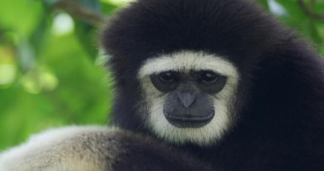 Gibbon, Sabah, Borneo
