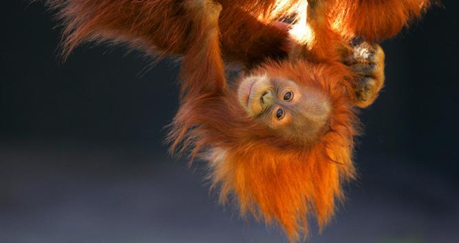 Swinging baby orangutan, Sepilok, Sabah, Borneo