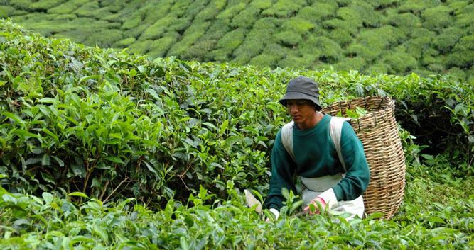 Tea picker, Cameron Highlands, Malaysia