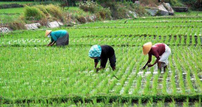 Rice paddies with workers, Vietnam