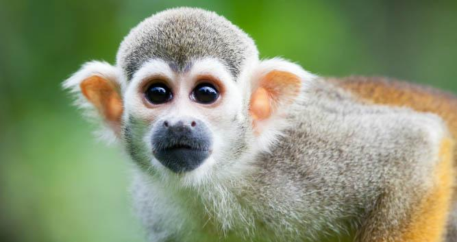 Squirrel Monkey, Atlantic Rainforest, Brazil