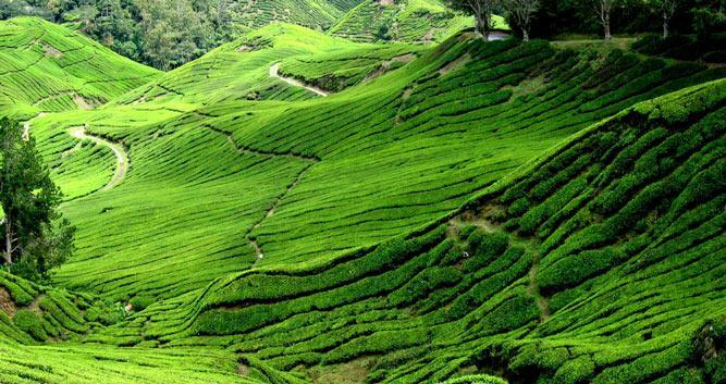 Lush green hills, Cameron Highlands, Malaysia