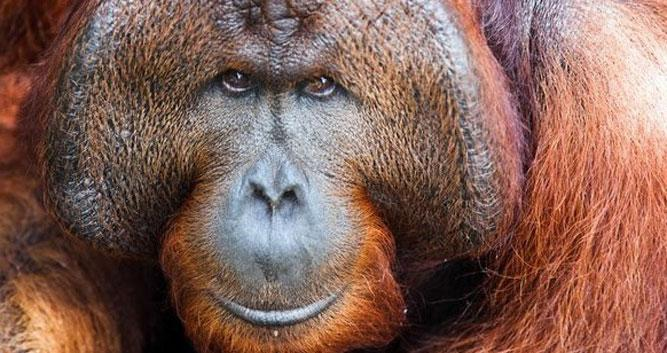 Adult Orangutan, Sabah, Borneo