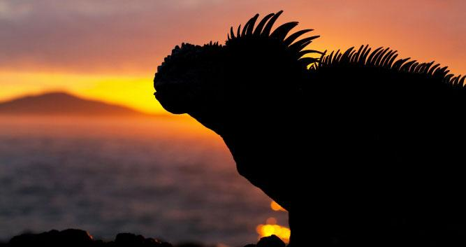 Silhouette of Iguana, , Galapagos Islands, Ecuador