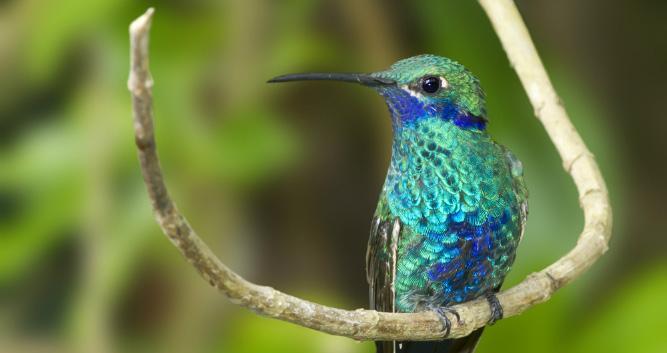 Hummingbird, Ecuador