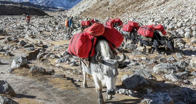 Yaks on Mt Everest, Nepal