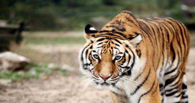 Tiger - India - Luxury India Travel
