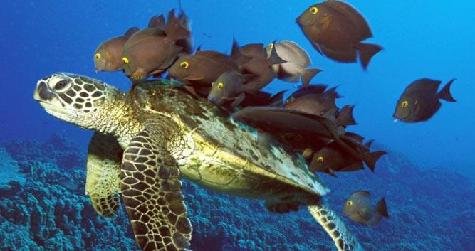 Turtle surrounded by fish, Sabah, Borneo
